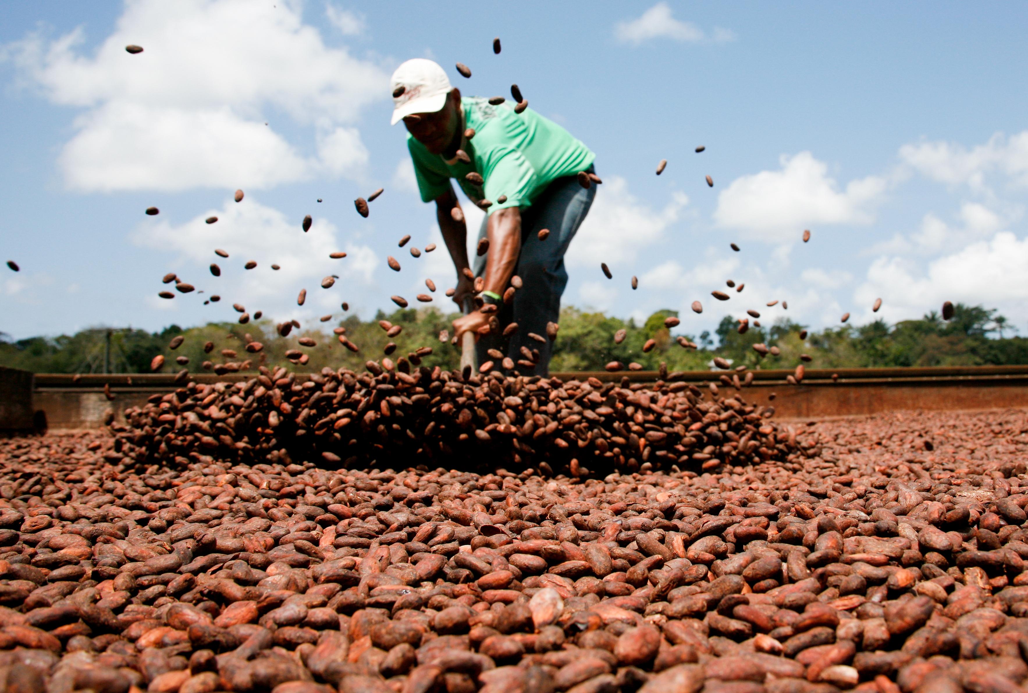 Cultivo do Cacau, importante fonte de renda local. Fotos: Divulgação